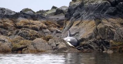 Ein gestrandeter Orca