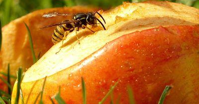 Erste Hilfe bei Wespenstichen!