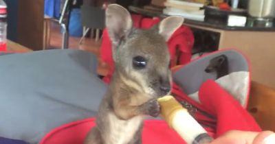 Millionen lieben dieses Baby Wallaby und das, was es gerade macht!