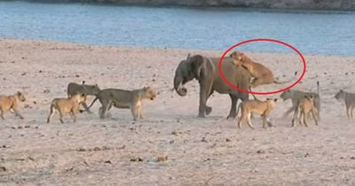 Schock: Baby-Elefant wird von 14 (!) Löwen attackiert - schau, wie er überleben konnte!