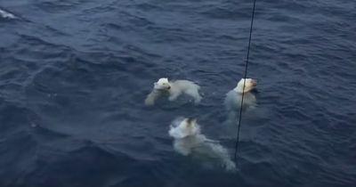 Eine Eisbärenfamilie schwimmt zu ihrem Schiff und das macht alle verrückt!