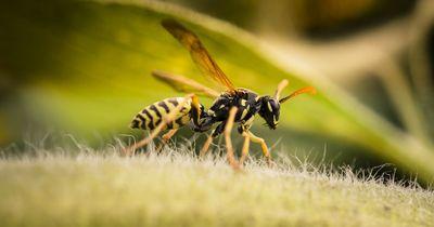 5 erstaunliche Fakten über Wespen!