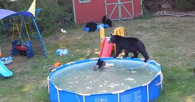 Das musst du gesehen haben: Bären-Familie stürmt einen Swimming-Pool