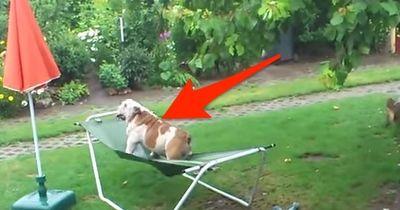 Ihr könnt euch vor Lachen nicht mehr halten, wenn ihr gleich seht, was diese Bulldogge macht!