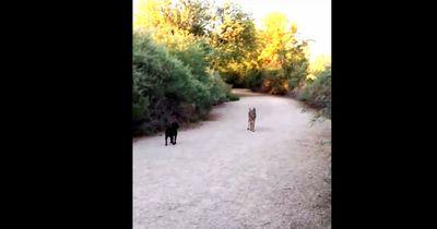 Ein wilder Kojote und ein Mops treffen sich zum ersten Mal...