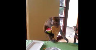 Diese Affen-Mama klaut Futter