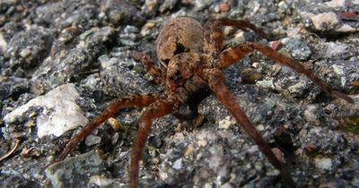 Aus 1 mach 1000: Diese Spinne ist anders, als sie zunächst scheint!