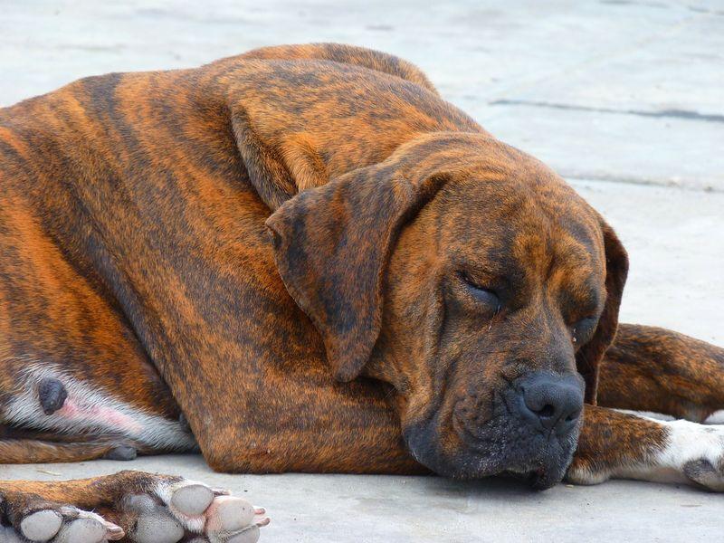 Rattengift im Hund