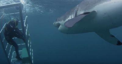 Diese 18-Fuß-lange Hai attackiert Taucher