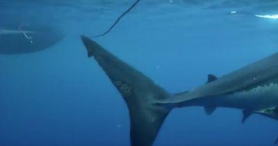 """""""Deep Blue"""": Einer der größten Haie unserer Erde!"""