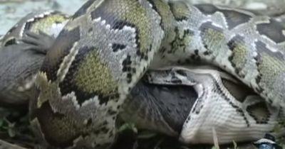 Diese Schlange frisst ein ausgewachsenes Krokodil