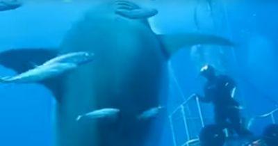 Der größte Weiße Hai?
