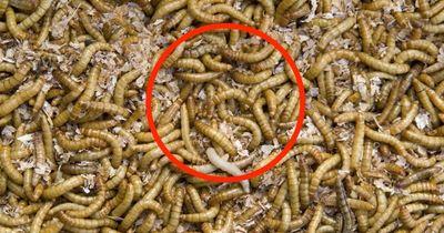 Diese Mehlwürmer können die ganze Welt retten!