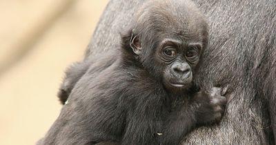 Das Gorilla-Junge hat seine Mutter verloren