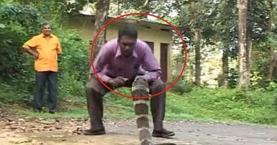 Er spielt mit seinem Leben: Königskobra unter Stress!