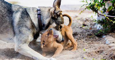 Es gibt einen richtigen Weg, einen Kampf zwischen Hunden zu stoppen