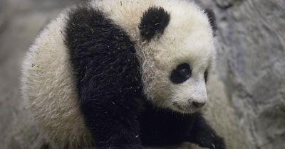 Was dieser Panda macht, ist unglaublich süß!