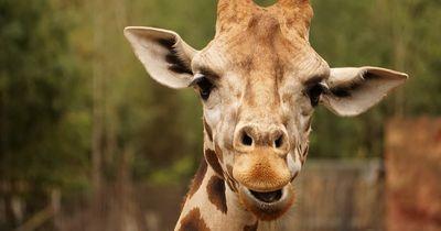 Jeder kennt sie, niemand weiß es: 5 verblüffende Fakten über Giraffen!