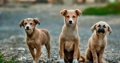 Wieso leben kleine Hunde länger, als große Hunde?