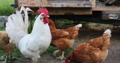 Da wird das Huhn in der Pfanne verrückt!