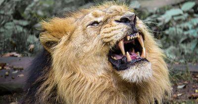 Dieser Löwe knurrt sein Spiegelbild im Wasser an!