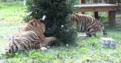 Auch gefährliche Raubkatzen feiern Weihnachten - mit Baum und Geschenken!
