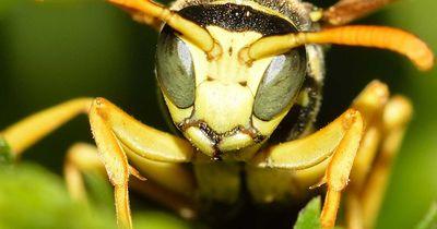 Spinne gegen Wespe