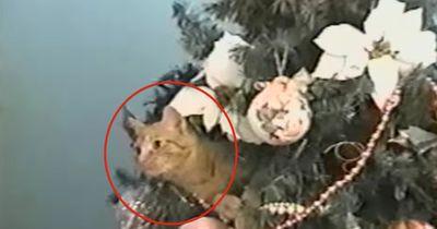 Diese Katze liebt den Weihnachtsbaum!