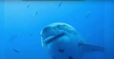 Ist das der größte Hai, der jemals gefilmt wurde?