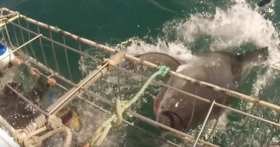 Das war knapp: Dieser Hai tut das Unmögliche!