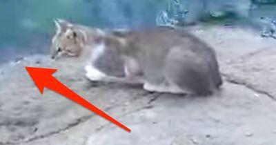 Bevor DU realisierst, was diese Katze macht, ist es zu SPÄT!