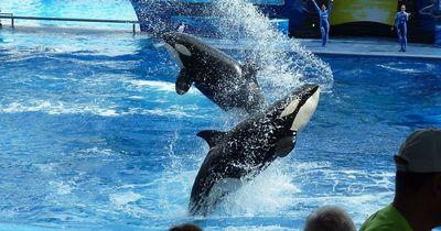 Orca-Wal attackiert Mädchen