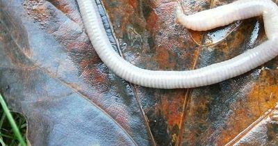 Dieser Wurm versucht sich in einen Menschen zu bohren