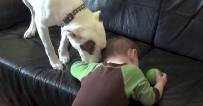 SCHOCK! Erst schaut der Pitbull das Baby nur an, doch dann öffnet er sein Maul!