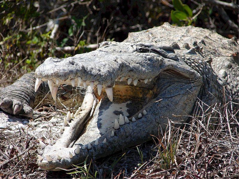 Schluss damit: Krokodil beißt seinen Trainer und wirbelt ihn durch die Luft!