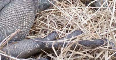 SCHOCK: Riesiges Reptil verirrt sich in den Garten dieses Mannes!