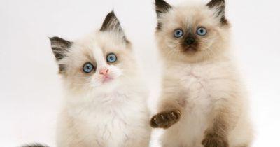 Das sind die beliebtesten Katzenrassen 2016!