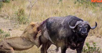 Diese 2 Löwen attackierten einen Büffel - und dann rannten sie in eine Gruppe Touristen!