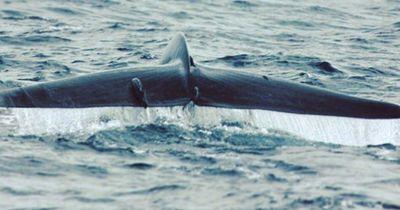 Faszinierend: 6 unglaubliche Fakten über Blauwale - die größten Tiere der Welt!