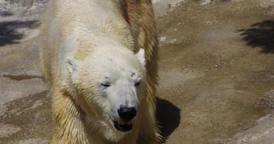 Heftig! Frau springt in ein Eisbären-Gehege!