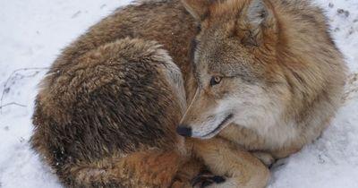 6 irre Fakten über Wölfe!