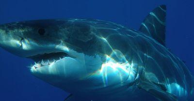 Dieser Hai wird von etwas ganz Gefährlichem gefressen...