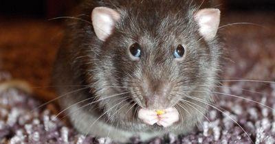 Ratten in deiner Toilette?