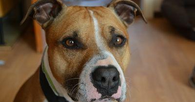 Pitbulls sind gefährliche Kampfhunde? Von wegen!