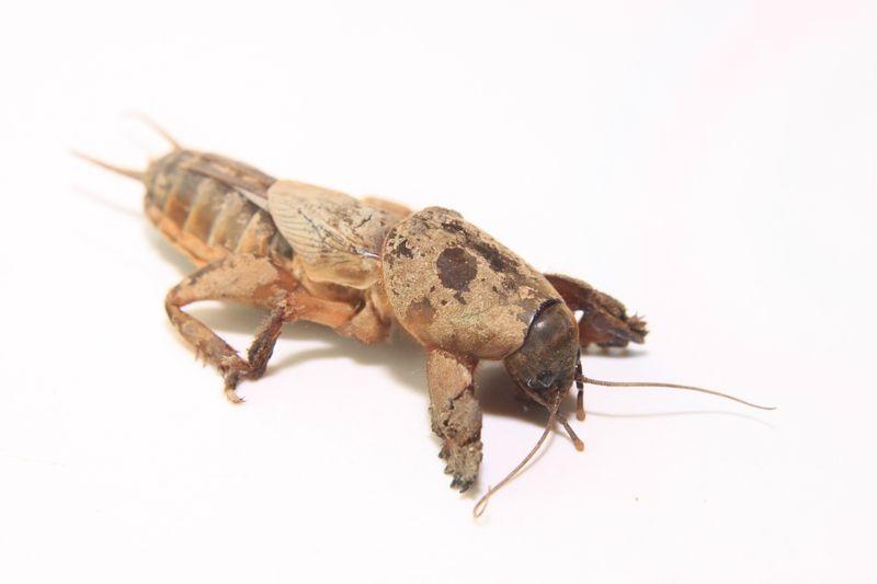 Dieser unheimliche Käfer ist in der Lage, Gemüse verrotten zu lassen!