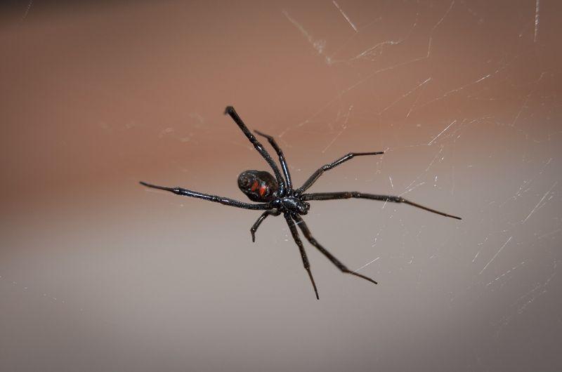 das sind die giftigsten spinnen der welt. Black Bedroom Furniture Sets. Home Design Ideas
