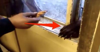 Er öffnete nur sein Fenster, dann streckte dieses wilde Tier seinen Kopf herein!