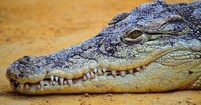 Krass! Dieser Mann schwimmt mit Krokodilen!