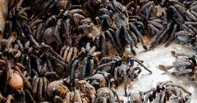 Millionen von Spinnen befallen eine Kleinstadt