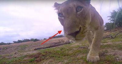 15 Minuten Ruhm: Ein wilder Löwe stiehlt eine laufende GoPro-Kamera!